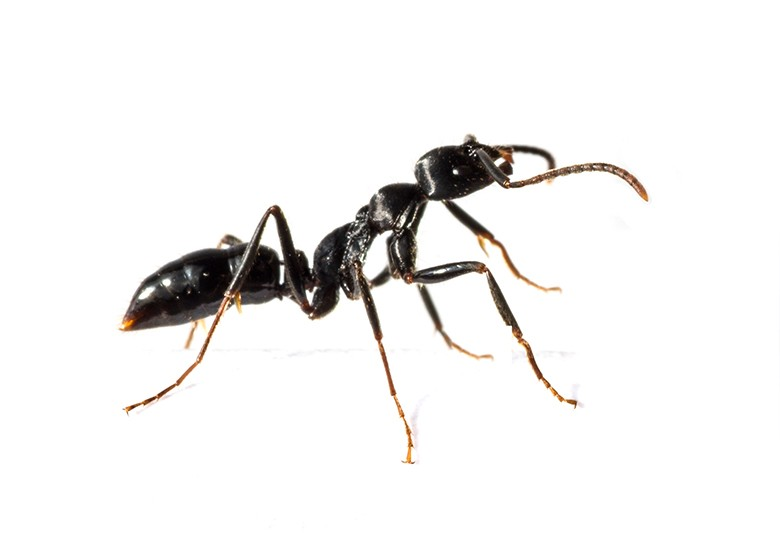 Common Ants Control 2 ateam