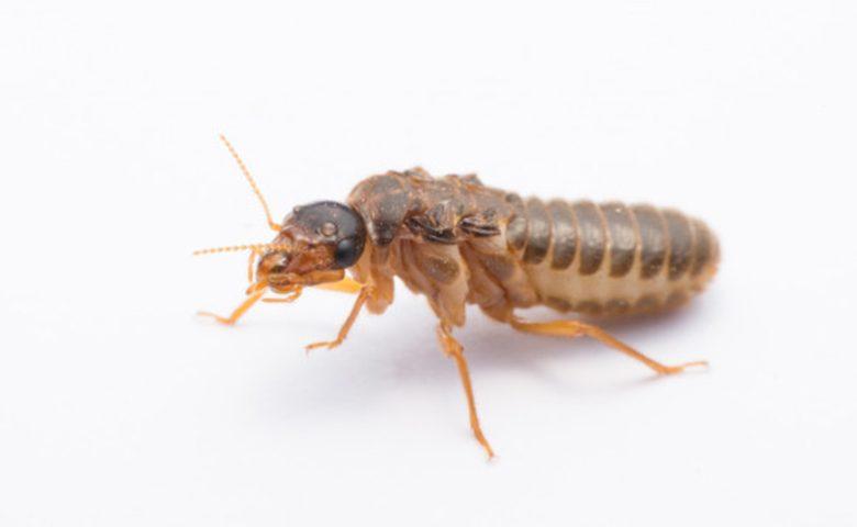 White Ants / Subterranean termite 5 ateam 780x480