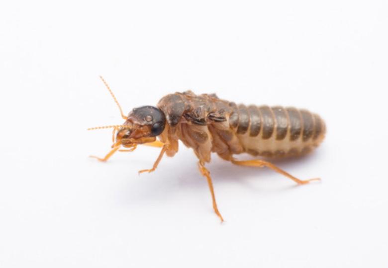 White Ants / Subterranean termite 5 ateam