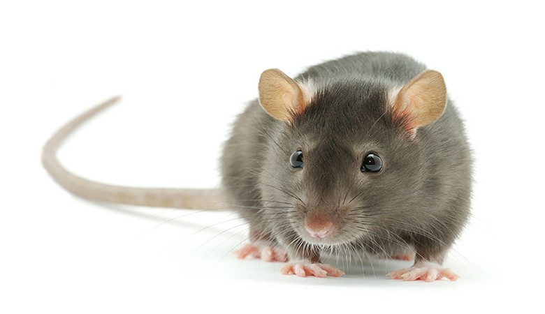 rat facts Tips to prevent a rat infestation ratimage