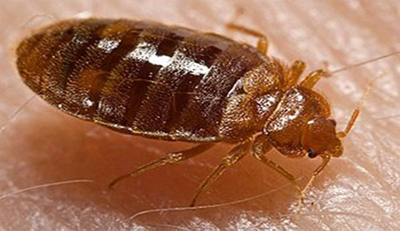 Beg Bug Infestation: Preventive Measures You Can Take BedBug 1